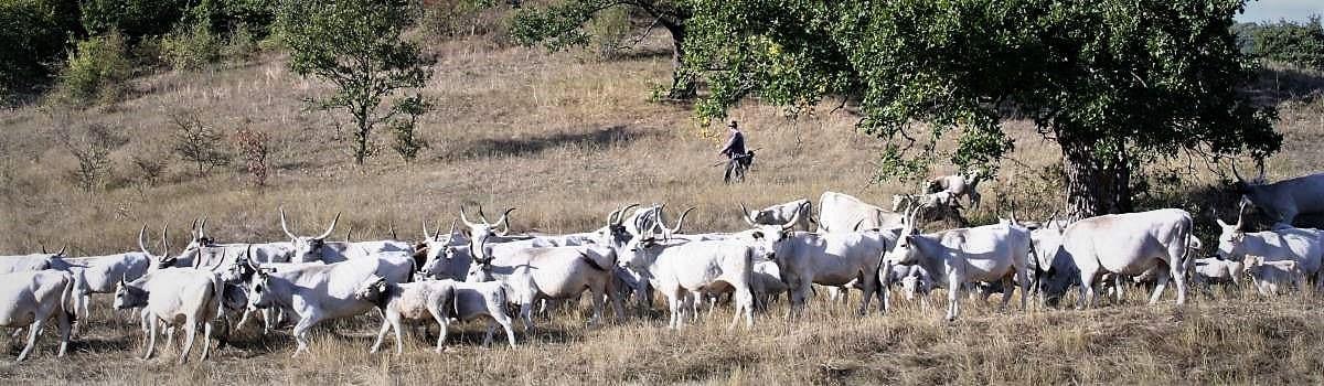 Hongaars Grijsvee met Herder